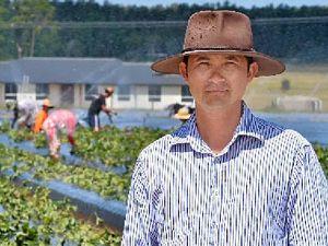Strawberry farmers face tough season if no rain