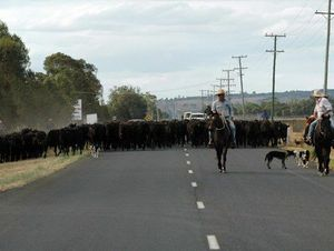 - Walking 340 head of cattle along Oakey-Cooyar Road for the draft Photo Kylie Robertson
