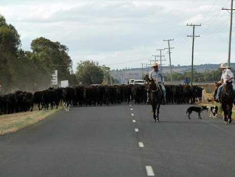 Walking 340 head of cattle along Oakey-Cooyar Rd.
