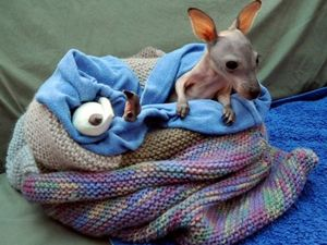 What do you get when you cross a sheep with a baby wallaby?