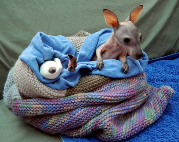 Four month old Bentley, a Red Neck Wallaby, was brought to WIRES with a broken leg after being hit by a car last Friday.