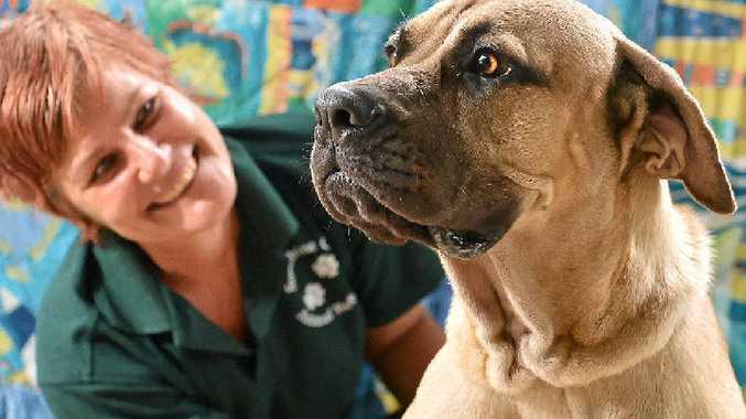 ROAD TO HEALTH: Beauty is relishing the care of volunteers like Melissa McGarvey at Sunshine Coast Animal Refuge.