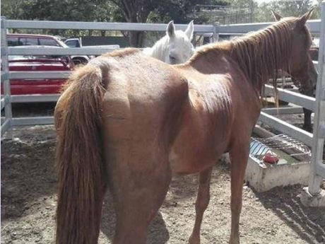 SAD SIGHT: The horse at the centre of the controversy in a yard at the Laidley horse sale.