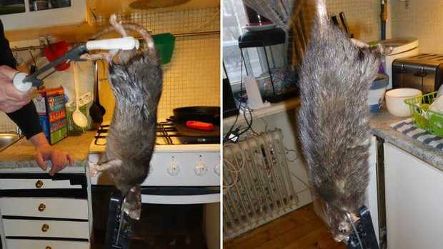 The giant rat found by the the Bengtsson-Korsås family. Photo: Facebook