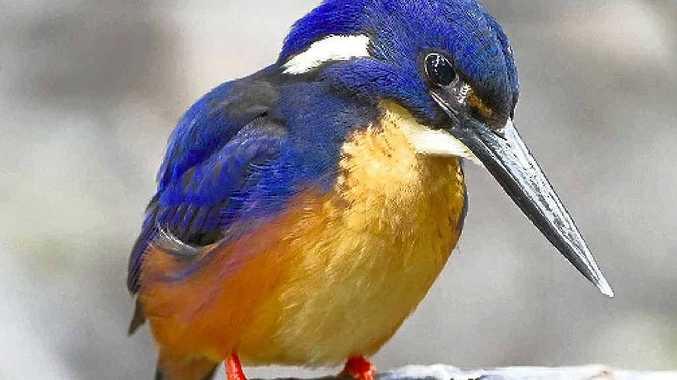 The beautiful Kingfisher