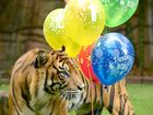 Tiger Juma with some balloons.