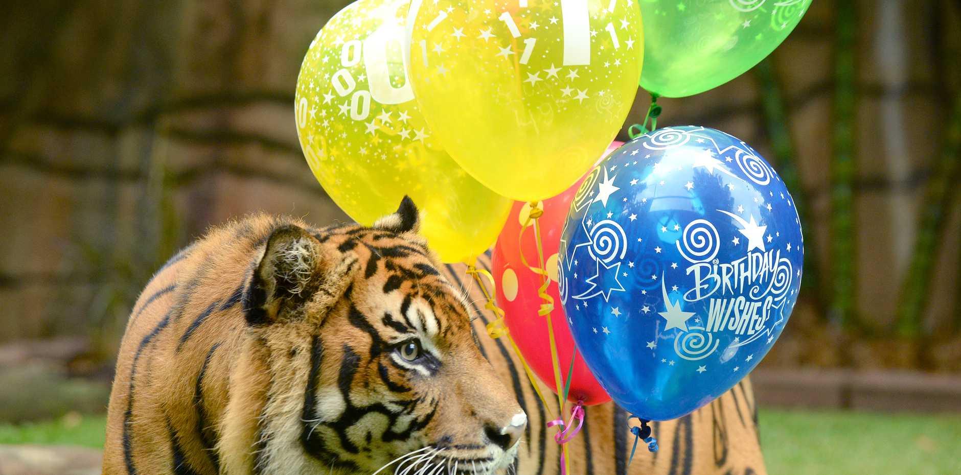 Australia Zoo's 10-ear-old tiger Juma earlier this year