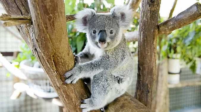 KOALA CARE: Ballina Council will lobby for extra koala protection measures regarding the highway upgrade.