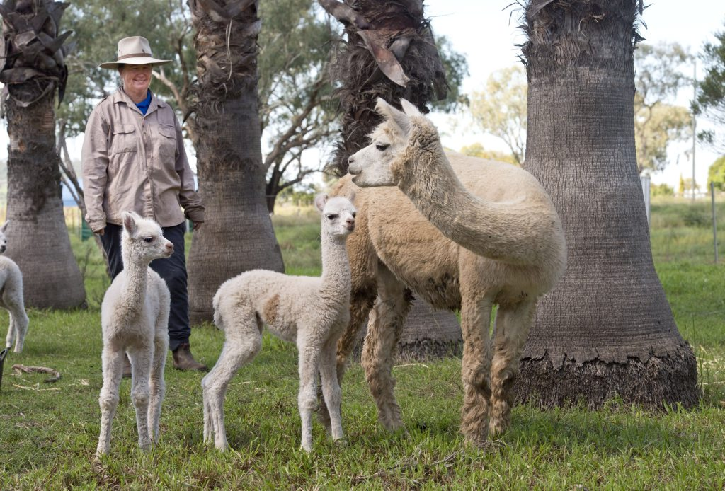 Margaret Hassall with twin Alpacas born at Double H Alpaca Stud. Photo Nev Madsen / The Chronicle