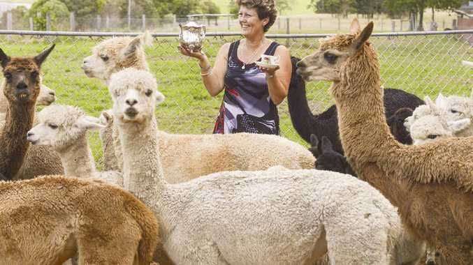 ALPACA WEEK: Pauline Glasser with her alpacas ahead of an upcoming open day and Mother's Day tea.
