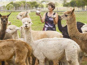 Stud farms put alpaca herds on show