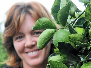 Fulltime job growing limes at Bundaberg