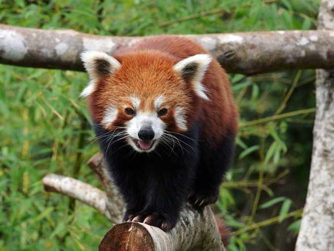 Red Panda. Photo: John McCutcheon / Sunshine Coast Daily