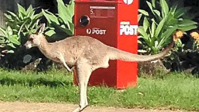 POST HASTE: A visiting kangaroo.Photo: Jade-Ellen Leak.