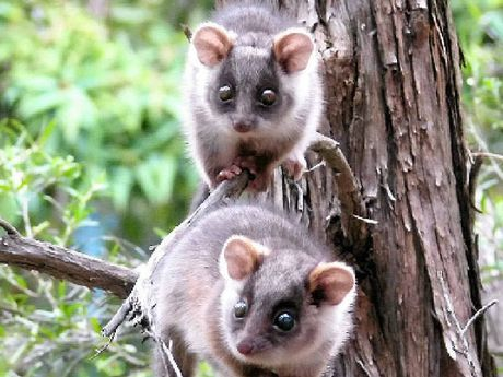 NOCTURNAL VISITORS: Ringtail possums often seek refuge in domestic households due to a loss of habitat.