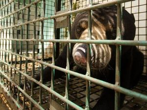 Johnny, the Sumatran Sun Bear, saved by Team Bona.