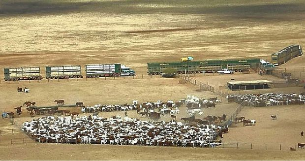 Frasers B-Triple and roadtrains load Acton cattle on Barkly Downs in the far north.
