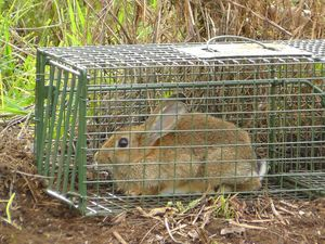 Rabbits on the move, but under control, in Toowoomba