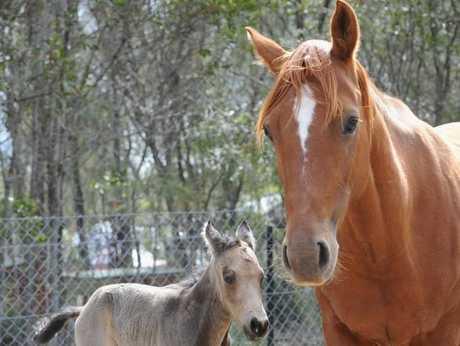 Bindi and her new foal Kokoda born on Anzac Day.