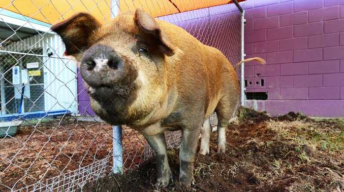 The Ipswich City Council are looking for the owners of this pig that was found wandering along the Warrego Highway last Saturday.