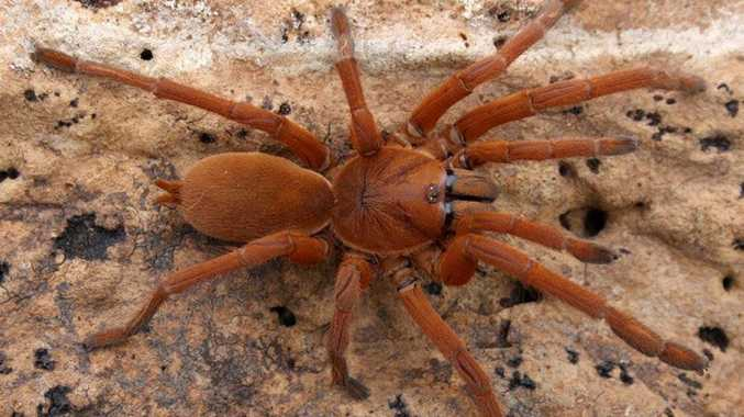An Australian tarantula, similar to this one, was stolen from Queensland Zoo on Monday night.