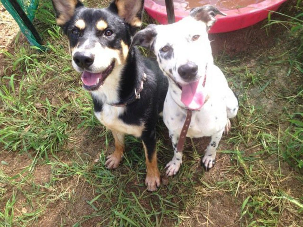 Chester (1 year old Husky x Kelpie) and Tilly (1 year old Dalmation x Border Collie) are best of friends Photo: contributed