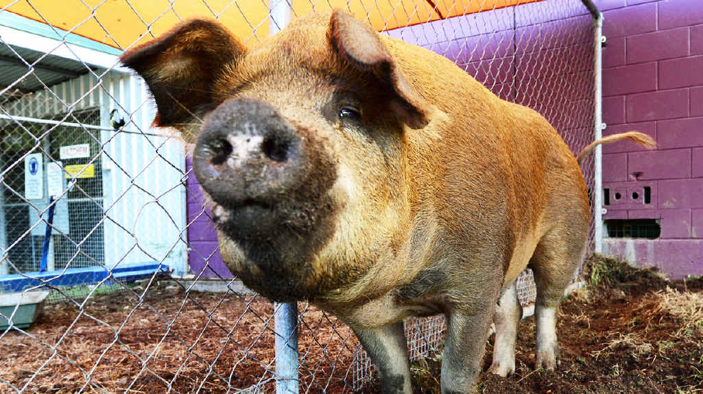 EVENTFUL JOURNEY: Peppa the pig is back home after the Ipswich City Council looked after her following a highway tumble.