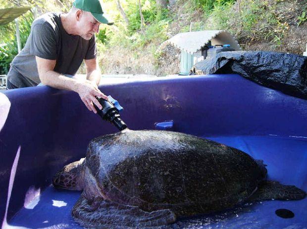 Quoin Island Rehabilitation Centre's Bob McCosker washes Delly, a 140kg turtle.