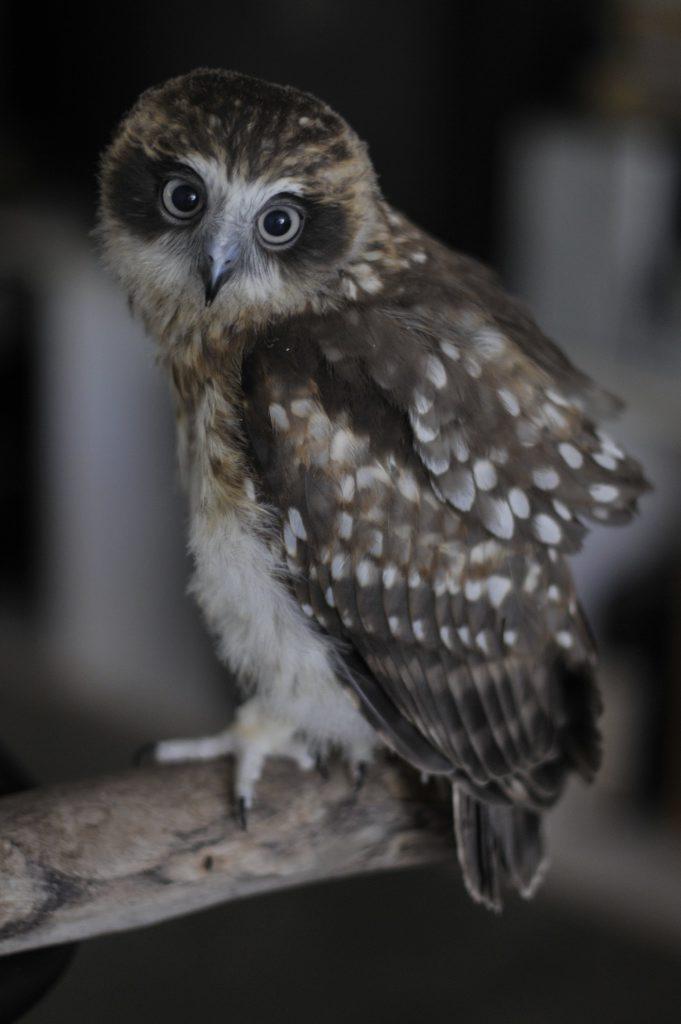 A boobook owl. File photo.