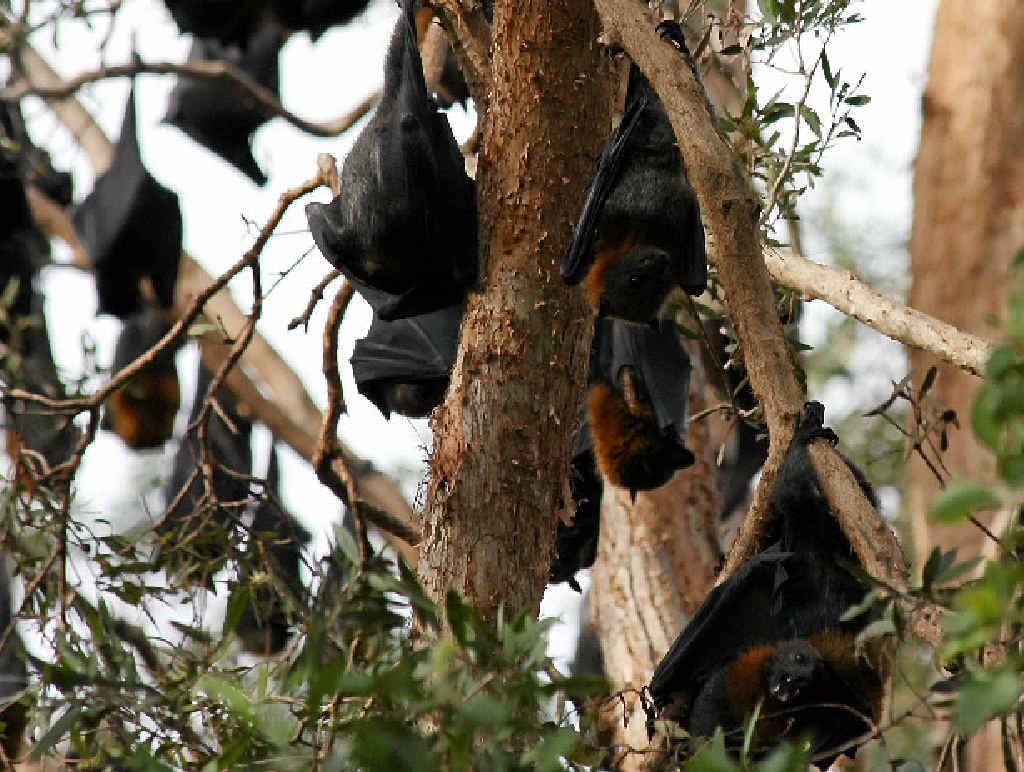 ROOST: Flying fox colony located on the grounds of Stella Maris College, behind Tepequar Dr, Maroochydore.