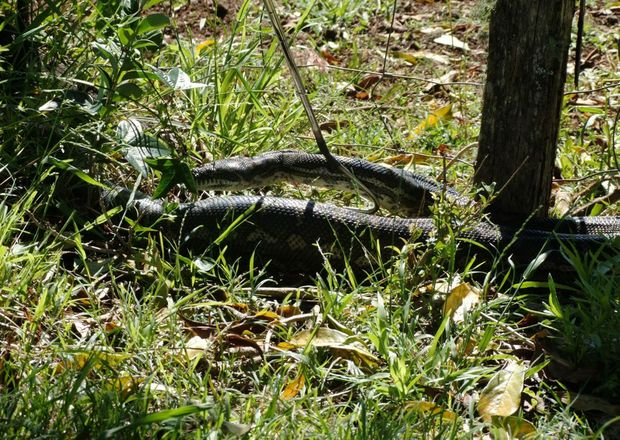 A 3 metre python estimated to be around 60 years old was discovered making itself at home in the bedroom of four-year-old girl at Modanville on Sunday. Photo Supplied