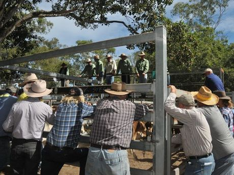 FINALLY HERE: The silver anniversary Miriam Vale cattle sale and show.