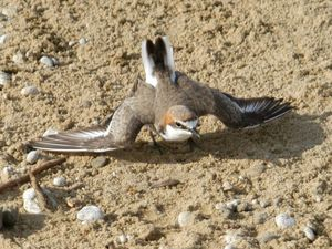 Motorbike hoons leave Yeppoon plover colony in tatters