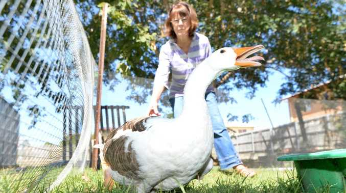 Marcene Cruz's 30 year old gander was recently attacked by dogs and killed leaving its mate