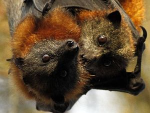 Resident sent batty over Noosa flying fox issue