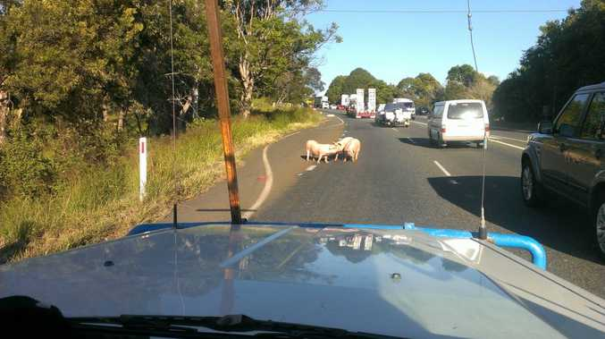 A Northern Star reader sent us this photo of pigs causing havoc on the Pacific Highway. Photo contributed
