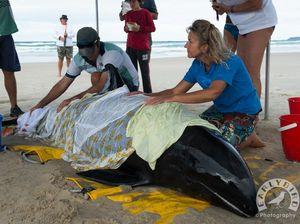 Whale found stranded on Brunswick Heads beach dies