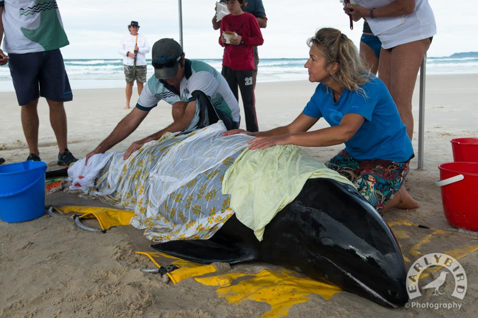A melon headed whale beached itself at Brunswick Heads.