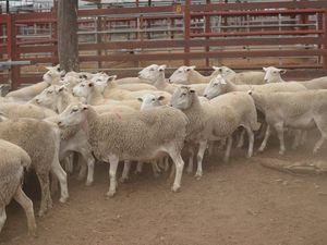Live export boss to be sentenced over sheep slaughter