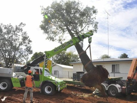 Removal and transplant of a 20m tall bottle tree from Long St.