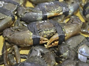 Recent rain has increased the number of crabs being caught