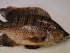 Fight against tilapia takes high-tech twist