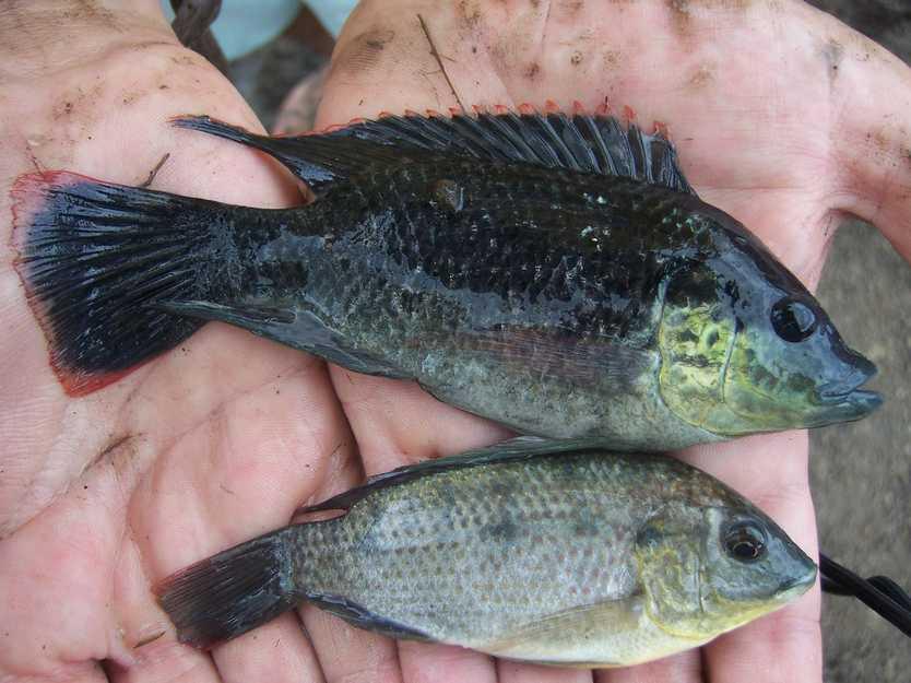 Tilapia male and female.