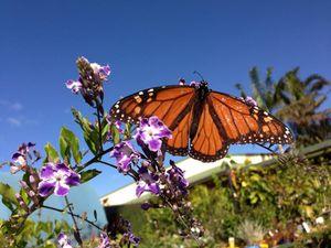 Bundaberg butterflies