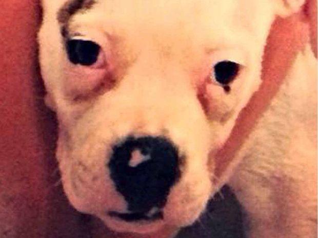 FOUND: Anna the American bulldog has been found.