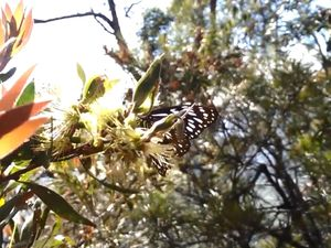 Butterfly at Mt Walsh