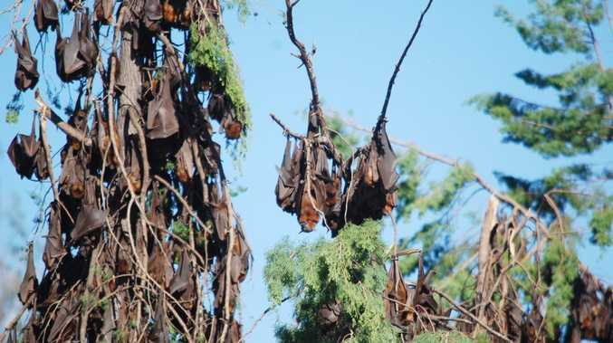 BATS ARE BACK: 320,000 flying foxes have converged on Duaringa for the third time in two years. Photo Meghan Kidd / CQ News
