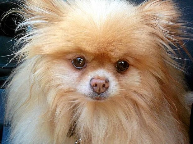 Jasper is a five-year-old teacup Pomeranian. Adopt him for $425. For more details check out Page 52.