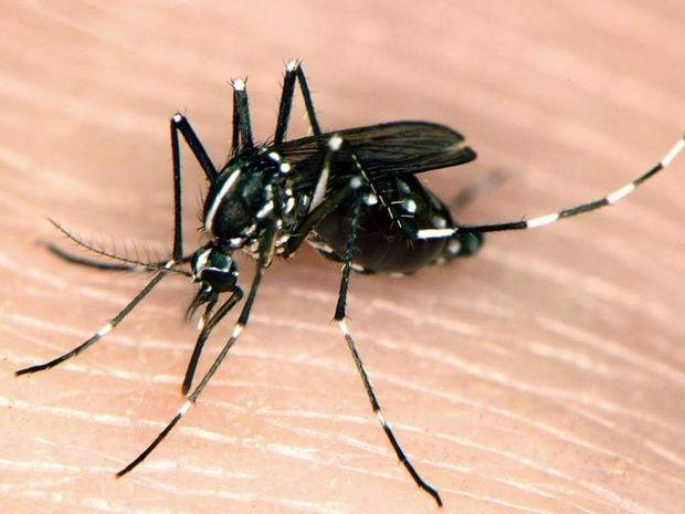 Asian tiger mosquito. Photo: Susan Ellis, Bugwood.org