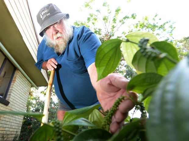 One of the many exotic edible plants Lychee farmer Tony Welch grows is pepper. Photo: Chris Ison / The Morning Bulletin